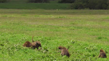 baboon : baboons in the grassland of the Ngorongoro Crater, Tanzania, Africa. Chacma Baboon, Papio ursinus in the grassland. Cape baboon is one of the largest of all monkeys in the world.
