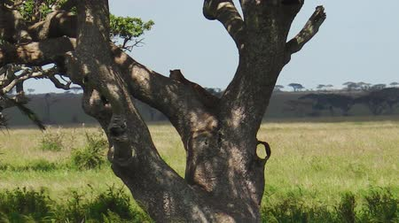 pardus predator : Leopard cub on a tree in Serengeti National Park, Tanzania, Africa. African Leopard species Panthera Pardus. Stock Footage