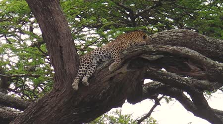 leopard cat : Leopard on a tree in Ndutu Area of Ngorongoro, Tanzania, Africa. African Leopard species Panthera Pardus. The leopard is part of the popular Big Five. Stock Footage