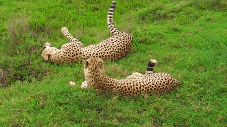 felidae : Two young brother cheetahs cleaning on the grass in Ndutu Area of Ngorongoro, Tanzania Africa. backside angle view. African cheetah species Acinonyx jubatus, family of felids. Stock Footage
