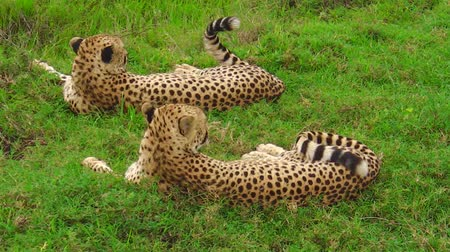 felidae : Two cheetahs in Ndutu Area of Ngorongoro in Tanzania, Africa. African big cats: Acinonyx jubatus, family of African felids. Stock Footage