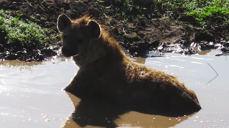 хищник : Spotted Hyena in a waterpool in Ndutu Area of Ngorongoro, Tanzania in Africa. Стоковые видеозаписи
