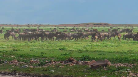 np : African Blue wildebeests close up running in the great annual migration of Ndutu Area of Ngorongoro of Tanzania in Africa. Gnu antelope in the genus Connochaetes. Connochaetes taurinus species.
