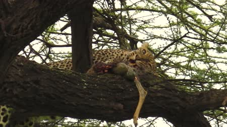 leopard cat : Leopard on a tree feeding with its prey in Ngorongoro Conservation Area, Tanzania, Africa. African Leopard species Panthera Pardus. The leopard is part of the popular Big Five. Stock Footage