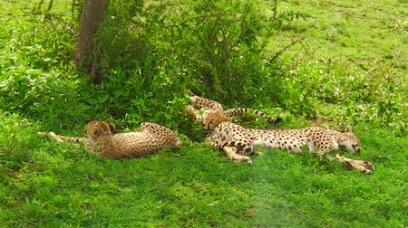 タンザニア : Two young cheetah cubs with their mother resting on grassland in Ngorongoro Conservation Area, Tanzania in Africa. African big cats family: acinonyx jubatus. The cheetah is the fastest land animal. 動画素材