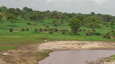 býložravý : Herd of African elephants crossing a river in Tarangire National Park of Tanzania in Africa.