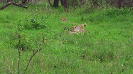 felidae : three young cheetah brothers cleaning and resting on grassland in Tarangire National Park, Tanzania in Africa. African big cats family.