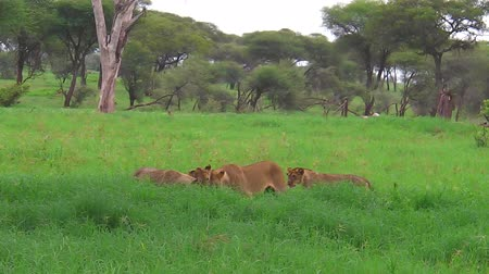 np : An African lion pride meeting in the grass of the Tarangire National Park of Tanzania, Africa. Panthera Leo species.