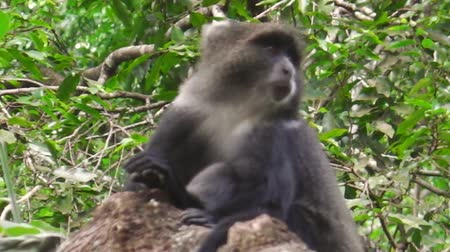 np : Blue Monkey or diademed monkey in Arusha National Park, Tanzania. Cercopithecus mitis is a species of Old World monkey.