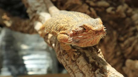 игуана : Australia Bearded Dragon lizard living in the Australian desert. tooking with its dinosaur eyes.