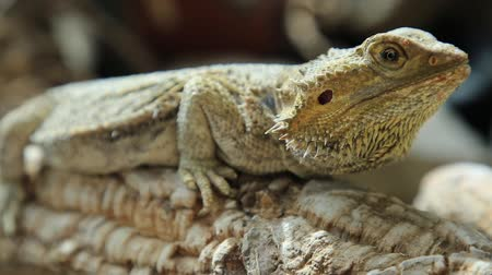 игуана : The Pogona Vitticeps also called Dragon bearded for the scales under the neck that swell and darken when its angry, is a reptile living in Australia in the desertic wildlife.
