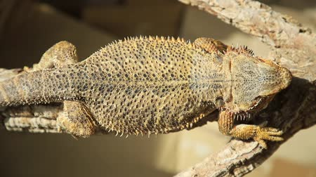 игуана : Pogona Vitticeps also called Dragon bearded for the presence of scales under the neck that swell and darken when its angry. basking in the sun because its cold blooded species.