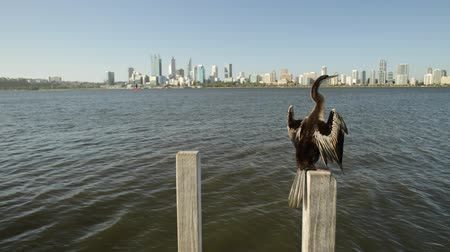 pilares : Australian snakebird on a jetty pillar spreading its wings to dry on the Swan River, Perth, Western Australia. Perth city skyscrapers skyline on blurred background.