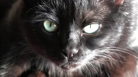 babona : Close up of a common, european black cat with green eyes open. Horror atmospheres and halloween concept. Look panther and witch eyes. Bad luck and superstition.