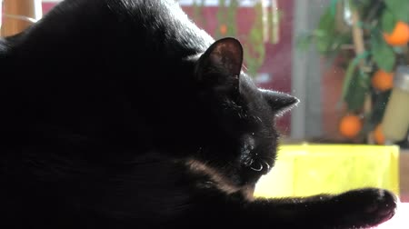 мурлыкать : Black female cat personal care, cleaning with its tongue. The concept of animal cleaning and hygiene.