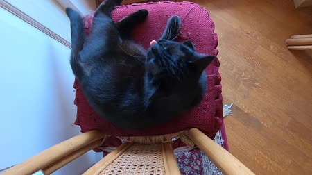 kürklü : SLOW MOTION: cutting nails to a black cat relaxing on its pillow. Cat rebelling and struggling to defend its claws from cutting.