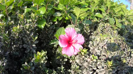 estame : pink hibiscus flower in California in spring season, close up on green leaves background. The hibiscus is the national flower of Malaysia.