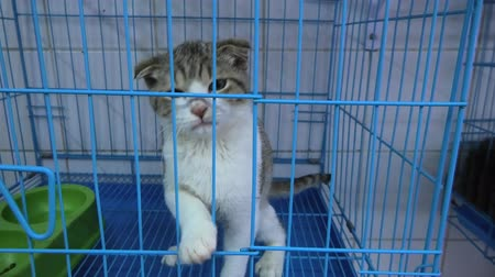 ronronar : Kitten with low ears meowing in cage in pet store.