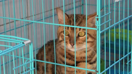 kot i pies : magnificent Bengal Cat with green eyes in cage in pet store.