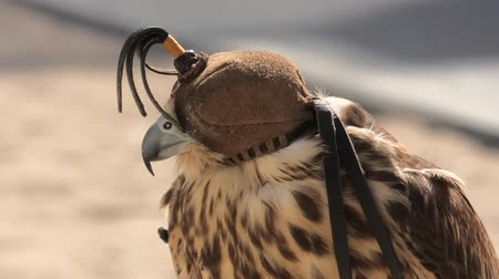 sas : Close up of hooded falcon at Falcon Souq near Souq Waqif in Doha center, Middle East, Arabian Peninsula. Falconry is very popular in Qatar. Sunny day. Stock mozgókép