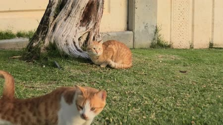 ronronar : Two red stray cats with green eyes sitting in the green grass, miaowing.