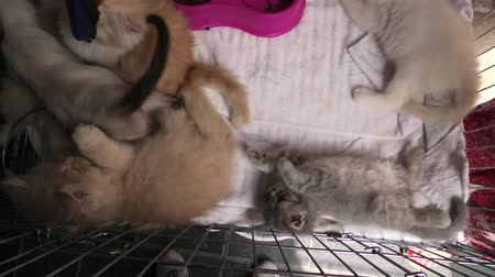 coon : Kittens in cage playing: siamese cat with blue eyes, a furry red Turkish Angora cat looking with green eyes and a grey Angora kitten.