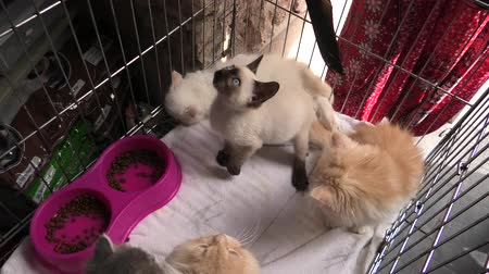 coon : Turkish Angora cats and persian cats playing in the cage in a pet store. Fashion kitty cat with pedigree and blue eyes. Concept of comfortable house, relaxing and safety state of mind.