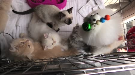 coon : Kittens in cage: siamese cat with blue eyes, furry Turkish Angora cats and persian cats looking with green eyes and playing with a pet toy.