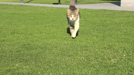 kočička : Tabby cat with yellow eyes walking straight on the green grass, isolated on green background.