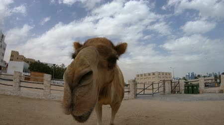 dromedaris : Camel nose close up for a kiss in Doha city, near Souq Waqif, the old market in Qatar. Tourist attraction in Middle East, Arabian Peninsula. Sunny day blue sky.