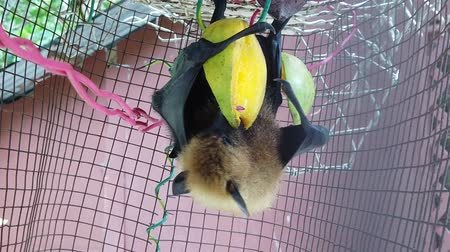 diurnal : Fruit bat of Seychelles hanging down eating mango fruits. The Pteropus seychellensis is a species of megabat of Pteropodidae family, living in Seychelles islands of Africa. SLOW MOTION view.