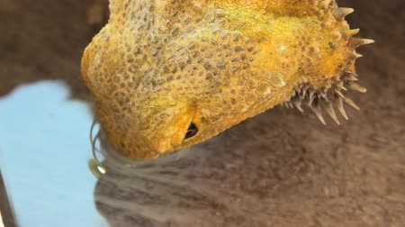 pullu : close up of Pogona Vitticeps drinking water. Bearded Dragon for its scales under the neck that swell and darken when its angry, is a reptile living in Australia in the desertic wildlife. Stok Video