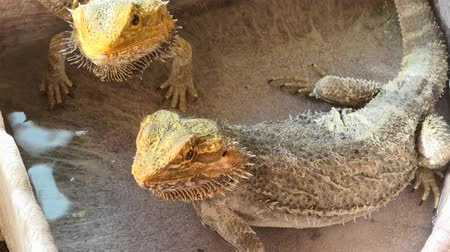 dinosaur : Pogona Vitticeps also called Dragon bearded for the presence of scales under the neck that swell and darken when its angry. Drinking water in their water pool. Stock Footage
