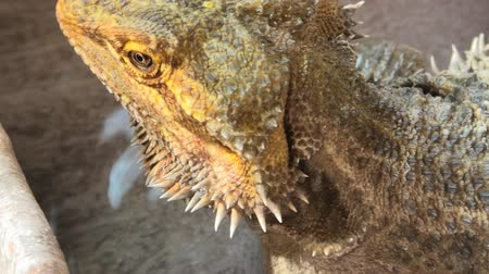 pogona : Pogona Vitticeps or Bearded Dragon, drinking water in the pool. close up Stock Footage