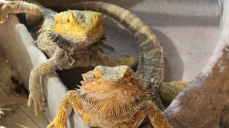 хищник : two Pogona Vitticeps with scaly skin. A reptile living in Australia in the desert wildlife. Стоковые видеозаписи