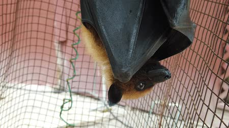 dark island : Flying fox bat of Seychelles hanging upside down. The Pteropus seychellensis is a specie of megabat in the Pteropodidae family, living in Seychelles islands of Africa. SLOW MOTION.