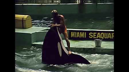 killer whale : Miami, Florida, United States - Circa 1979: killer whale show jumping and riding at Seaquarium of Miami in 70s with animal trainer. The historical United States of America in 1970s.