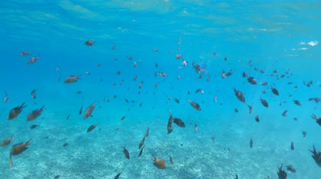 šnorchl : Coral reef underwater of Cocos Island in Seychelles. Local school of tropical fish of Indian Ocean.