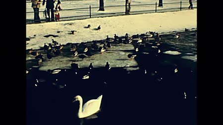 aves marinhas : BERLIN, GERMANY - CIRCA 1979: seagulls, ducks and white swans on Tegeler See frozen lake in winter. Greenwich Promenade with people in vintage 70s dress watching seabirds.