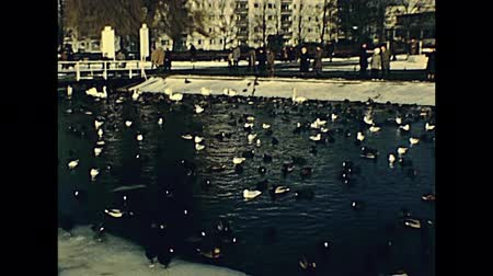 aves marinhas : seagulls, ducks and white swans on Tegeler See frozen lake in winter. promenade in 70s. Vídeos