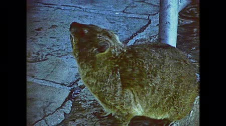 fare : rock hyrax close up in the Table Mountain Aerial nature reserve. Historical ARCHIVAL FOOTAGE in Cape Town city of South Africa in 1980s.