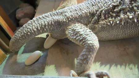 druh : Female of bearded dragon deposing her eggs. Pogona vitticeps species is a reptile living in Australia in the desert wildlife.