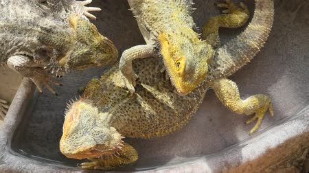 pullu : close-up of 3 Pogona Vitticeps playing in the water pool and basking in the sun because are cold blooded species.