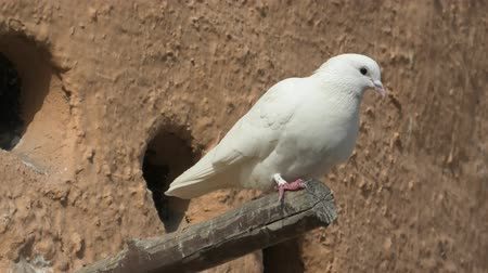 mosque doha : white doves on a pigeon tower in Doha, Qatar. Middle East, Arabian Peninsula. Stock Footage