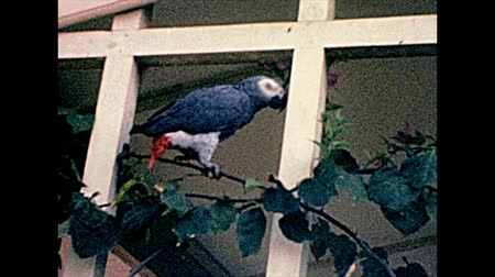 nigeria : African grey parrot, Psittacus erithacus and Nigerian typical plants in Lagos. Historical archival of Lagos city of Nigeria state of Africa in 1970s.