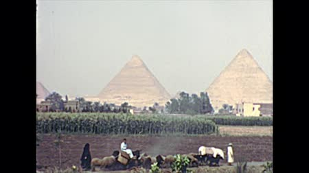 esfinge : CAIRO, EGYPT, AFRICA - circa 1973: Egyptian Bedouin peasants working the fields with their animals. By Great Giza Pyramids in Valley Temple. Historical archival of Cairo capital city of Egypt in 1970s Stock Footage