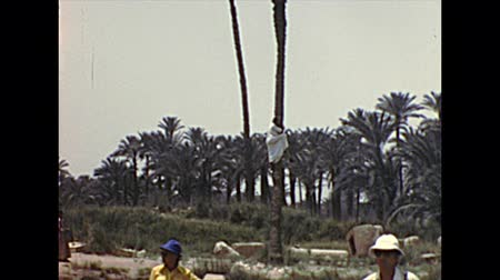 Mit-Rahineh, EGYPT, AFRICA - circa 1973: Egyptian Bedouin man climbing a palm tree in Giza archeological site in traditional dress. Memphis ruins by Mit-Rahina town. Archival of Cairo Egypt in 1970s