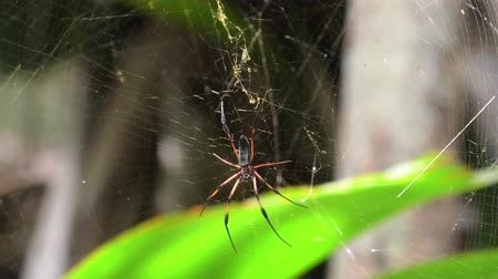 praslin : Close up of red-legged golden orb-weaver spider or red-legged nephila, Nephila inaurata species. palm spider in net in Seychelles at Vallee de Mai Nature Reserve, Praslin island. Stock Footage