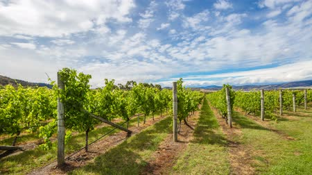 tasmania : Australian vineyards in the area between Richmond, Cambridge and Hobart in Tasmania, Australia. Loop cinemagraph background. Stock Footage