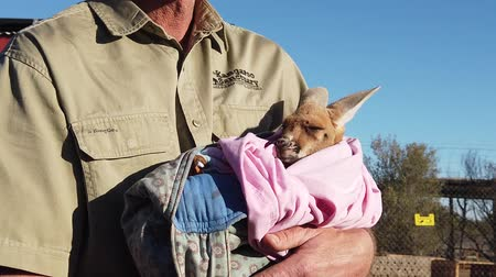 rugók : Alice Springs, Northern Territory, Australian outback, Australia - Aug 29, 2019: orphan female kangaroo joey at Kangaroo Sanctuary with the famous Brolga kangaroo dundee during a tour. SLOW MOTION. Stock mozgókép